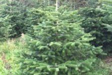Vigtigt :  HSK sælger juletræer i år