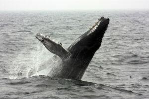 Ny teknik afslører hvalernes skjulte liv