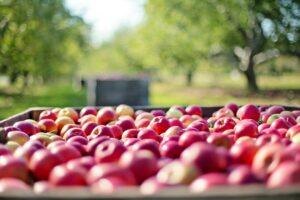 Æbledag