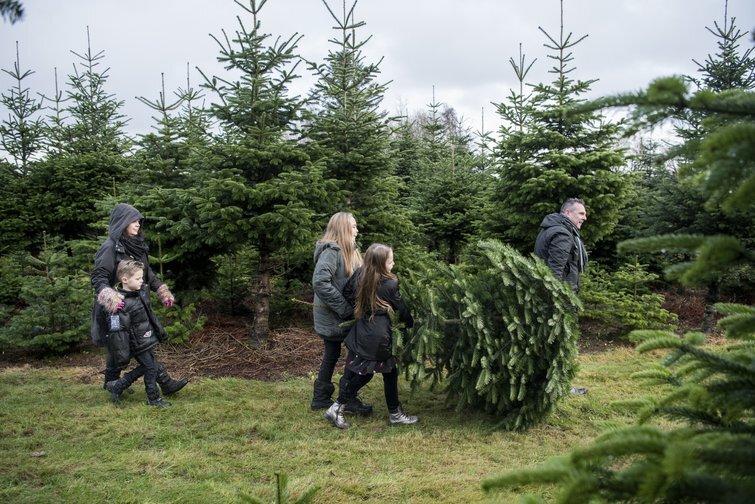 Hver femte vælger økologisk juletræ