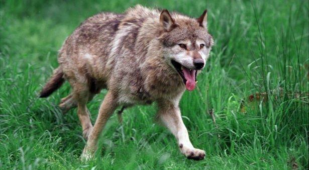 Frygtet ulv er kommet over grænsen til Danmark